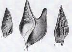 Rostellaria