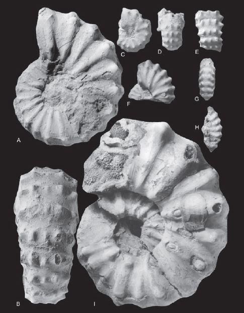Ammonites Cénomanien