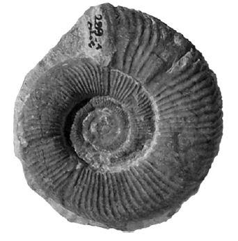 StrataSilesitidae2